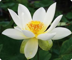 小・中型種 白蓮(びゃくれん)系統