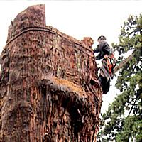 大径木伐採・枝下ろし